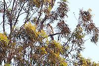 Little Eagle pale morph, Yuragir NP, NSW, Australia