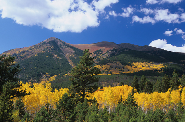 Autumn, Aspen Trees near Leadville, Colorado