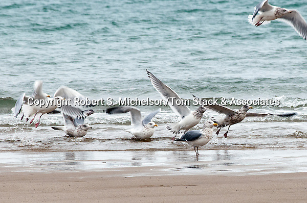 American Herring gulls in winter plumage, South Beach, Chatham., Massachusetts