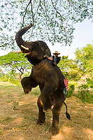 An elephant balancing on it's hind legs, Elephantstay (Elephant village), Ayutthaya, near Bangkok, Thailand