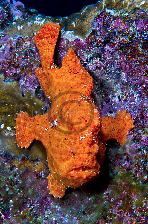 Giant-Frogfish (Antennarius commerson)