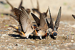 Cliff Swallows (Petrochelidon pyrrhonota), three flutter their wings while they pick up mud as nest material, Mono Lake Basin, California, USA. One scientific theory for the wing fluttering behavior is that it is done to prevent attempted forced copulation (rape).