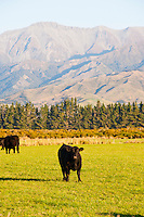 Cow on a Farm on the Drive from Queenstown to Milford Sound, South Island, New Zealand. The drive from Queenstown to Milford Sound is stunning, passing beautiful countryside and impressive mountains.