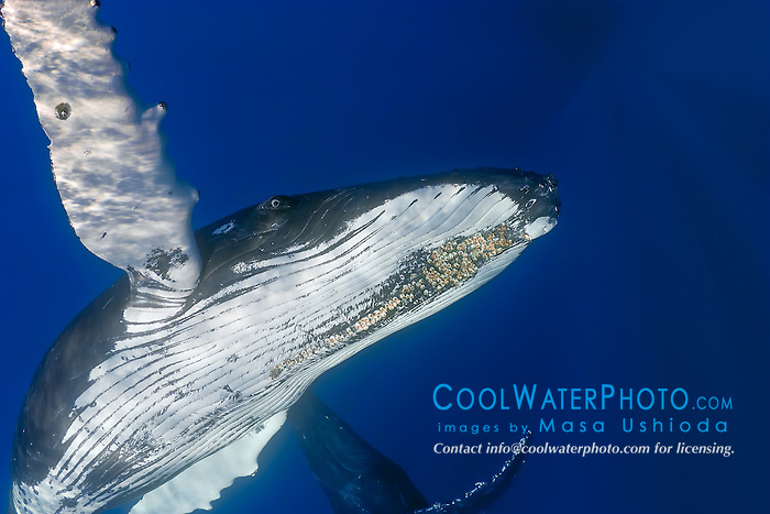 humpback whales, Megaptera novaeangliae, adult female and escort, showing a colony of parasitic acorn barnacles, Cornula diaderma,  well developed under chin, Hawaii, USA, Pacific Ocean