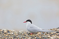 Arctic tern sitting on rocky surface, North Slope, Alaska.