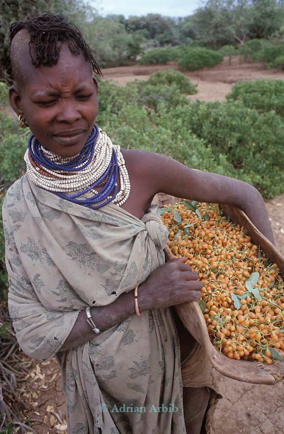 A Turkana woman collects  berries to supplement  thhe  family  diet...Northern Kenya.....