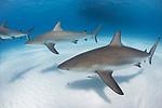 Tiger Beach, Grand Bahama Island, Bahamas; three Caribbean Reef Sharks swimming over the sandy bottom at Tiger Beach