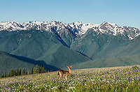 Columbian black-tailed deer (Odocoileus hemionus columbianus) doe in subalpine meadow with Olympic Mountains in background.  Olympic National Park, WA.  Summer.  Image from Hurricane Ridge.