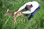 "© Joel Goodman - 07973 332324 . Stockport , UK . RSPCA Inspector Gilly Howard marks the deer to warn people it has been drugged . A wild deer which was discovered in a park by the busy Manchester Road in Stockport has been rescued after three days . The park was closed and locked by Stockport Council officials on Monday 24th June after the young male started bolting across the playing field and playground and butting its head and antlers against railings . But with the gates locked , the young animal could not escape . For three days local people came out to watch the deer from the fence as it hid in bushes around the edge of the park , occasionally venturing out across the playing pitch and in the direction of the busy A626 road . The landlord at "" The Hind's Head "" pub opposite , Stuart Kirkham , a Manchester United fan , named the beast "" Ronaldo "" because of its red colouring . After three days , with no hope of escape under its own steam and with the park still closed , the RSPCA and council brought in a veterinary surgeon to help . The animal was tranquilised and driven to nearby Reddish Vale Country Park , where he was brought round and released back in to the wild . Photo credit : Joel Goodman"