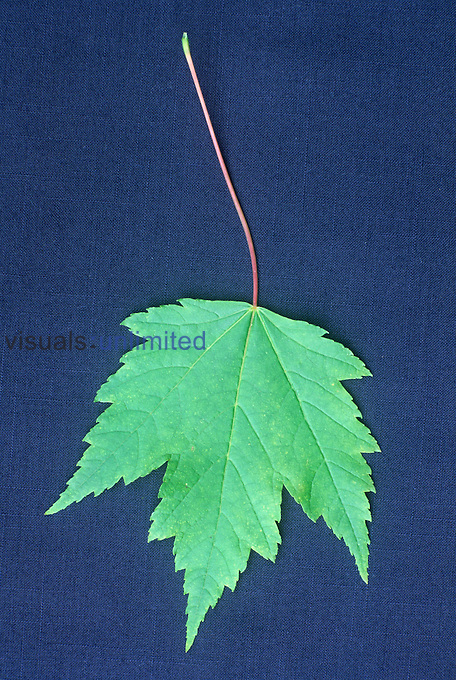 Red Maple tree summer leaf (Acer rubrum), North America.