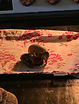 Pictured:  The duckling hatching from the egg in the oven.<br /> <br /> A couple have become the unexpected owners of a duckling after finding an abandoned egg - and hatching it in their oven.  Heartwarming photographs and videos show the days-old duckling following Will Hall and Alice Kendall around their home after they rescued it, even 'terrifying' their big German pointer, Meg.<br /> <br /> Mr Hall, a teacher at leading independent school Winchester College, discovered the duck egg while out walking in a grassy area on Saturday and couldn't find its nest.  Not wanting to leave the egg, the 26 year old FaceTimed his events coordinator partner and the pair hatched a plan to save it.<br /> <br /> Miss Kendall, 22, preheated the oven at their home in Winchester, Hants, ready for their arrival, setting up a makeshift incubator by placing a tea towel on a baking tray.  SEE OUR COPY FOR DETAILS.<br /> <br /> Please byline: WRH Photography/Solent News<br /> <br /> © WRH Photography/Solent News & Photo Agency<br /> UK +44 (0) 2380 458800