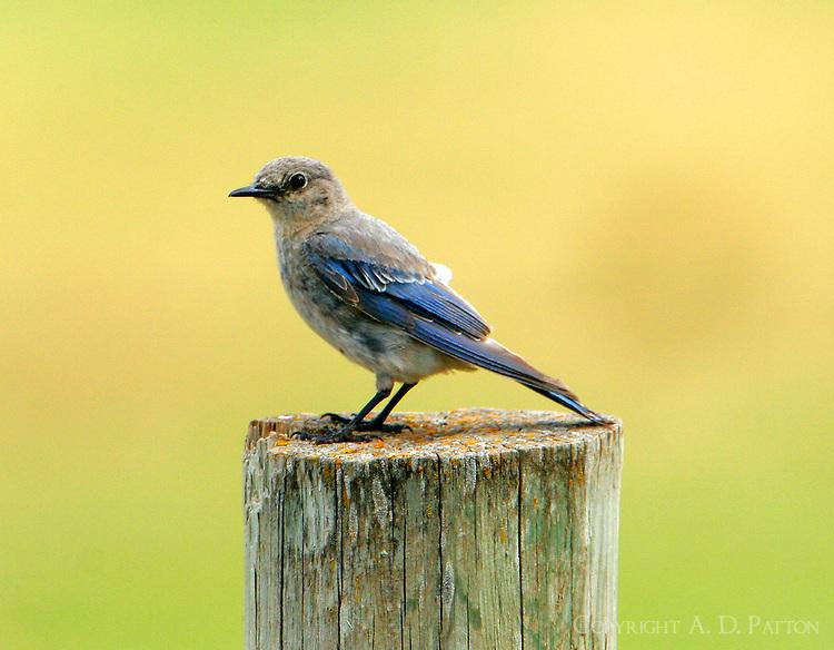 Adult female mountain bluebird
