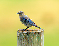 Adult female mountain bluebird
