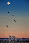 Snow geese flying past a full moon at sunset at the Bosque del Apache National Wildlife Refuge in New Mexico