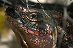 Cyclura cychlura figginsi, iguana, endangered 2