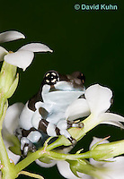 0305-0924  Froglet, Amazon Milk Frog (Marbled Tree Frog) on Bunch of White Flowers, Trachycephalus resinifictrix (formerly: Phrynohyas resinifictrix)  © David Kuhn/Dwight Kuhn Photography
