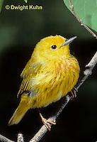 WB01-009x  Yellow Warbler - male, breeding colors  - Dendroica petechia