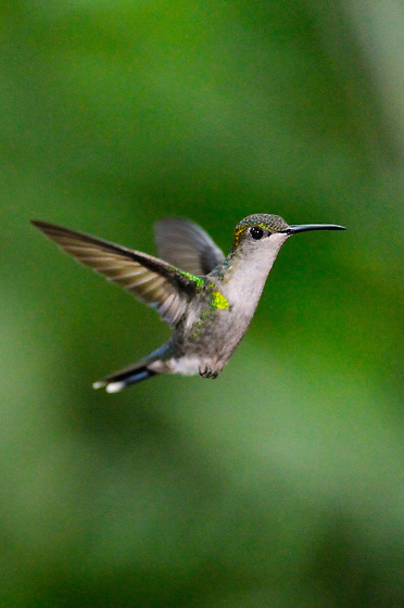 Ninfa Coronada (hembra) / colibríes de Panamá.<br /> <br /> Crowned Woodnymph (female) / hummingbirds of Panama.<br /> <br /> Thalurania colombica.<br /> <br /> Edición de 25 | Víctor Santamaría.