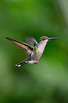 Ninfa Coronada (hembra) / colibríes de Panamá.<br />