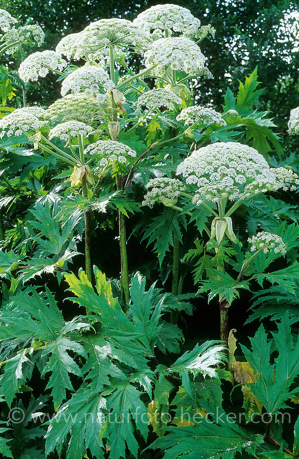 Riesen-Bärenklau, Riesenbärenklau, Bärenklau, Herkulesstaude, Herkules-Staude, Herkuleskraut, Heracleum mantegazzianum, Heracleum giganteum, Giant Hogweed, giant cow parsley