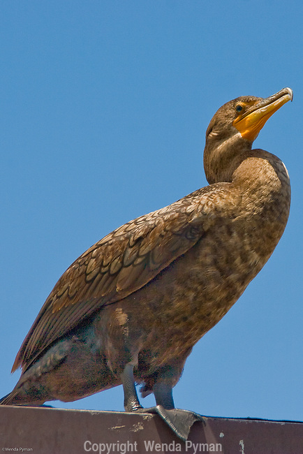 The Florida cormorant dives for fish and marine invertebrates from the water's surface.
