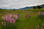 Idaho, Central, New Meadows. Multi colored lupine in front of an old barn in late spring.