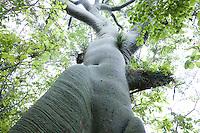 Ceiba tree; Ceiba trichistandra; in tropical dry forest; Jorupe Reserve; Ecuador; Prov. Loja