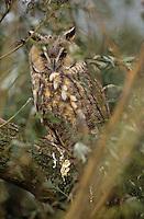 Waldohreule, tagruhend gut im Gestrüpp versteckt, Waldohr-Eule, Asio otus, long-eared owl