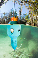 This floating transmitter sends a signal to track this endangered Florida Manatee, Trichechus manatus latirostris, at Three Sisters Spring in Crystal River, Florida, USA. The Florida Manatee is a subspecies of the West Indian Manatee.