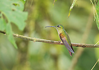 Fawn-breasted brilliant hummingbird, Heliodoxa rubinoides, perched on a branch at Refugio Paz de las Aves, Ecuador