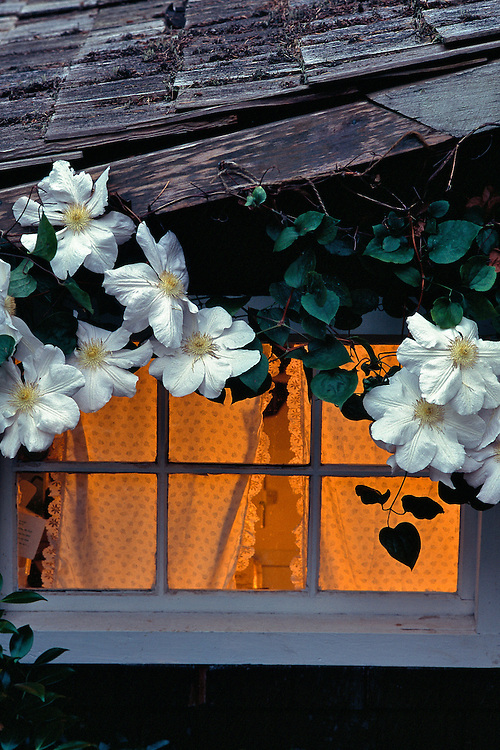 Cedar shake roof and white Clematis 'Henryi' framing small window with lace curtains and soft golden interior light, Creekside Gardens, Roberts Creek, BC