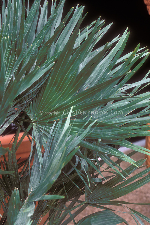 Chamaerops humilis Vulcano aka Volcano Dwarf Mediterranean Fan Palm