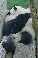 Pandas embrace at the Panda Valley Research Center, Wolong, Sichuan, China, May 2007