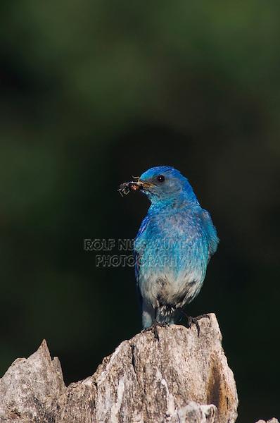 Mountain Bluebird, Sialia currucoides, adult male with prey, Rocky Mountain National Park, Colorado, USA, June 2007