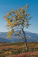 Yellow leaves of birch tree in autumn in mountain landscape, Kungsleden trail, Lapland, Sweden