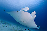 Diving with the Manta Rays of Raja Ampat, West Papua, Indonesia