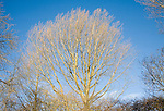 Leafless branches deciduous tree against blue sky, Suffolk, England
