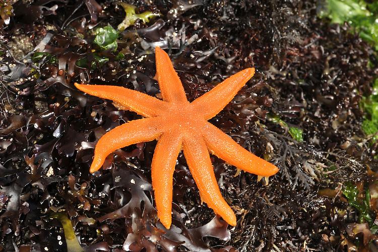 Seven-armed Starfish - Luidia ciliaris
