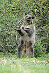 Glacier bear, silver phase of black bear, Glacier Bay National Park and Preserve, Alaska, USA