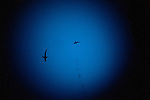 Cocos Island, Costa Rica; a pair of Galapagos Sharks (Carcarhinus galapagensis) swimming overhead, photographed at nearly 600 feet, while inside the DeepSee Submarine, after a dive down the wall to 1000 feet