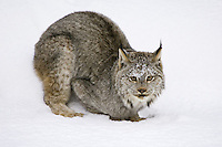 Canada Lynx crouching and watching from the snow - CA