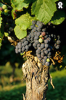 Grape on a vine on vineyards, Provence, France (Licence this image exclusively with Getty: http://www.gettyimages.com/detail/82406710 )