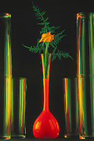 Yellow Rose Flower in Glass Vase filled with Red Liquid, Row of Glass Vases against Black Background
