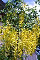 Laburnum x watereri 'Vossii' Goldenchain Tree in yellow flowered spring bloom, golden spring blooming tree, AGM Plant