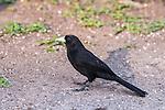 Solitary Black Cacique (Cacicus solitarius), Pantanal, Mato Grosso, Brazil