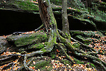 Rocky Cliff Walls, Mossy Tree Trunks And Roots In The Scenic Old Man's Cave State Park Of Central Ohio, Hocking Hills Region In Autumn