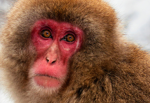 This portrait of a macaque(Japanese snow monkey) was taken near Nagano, Japan.
