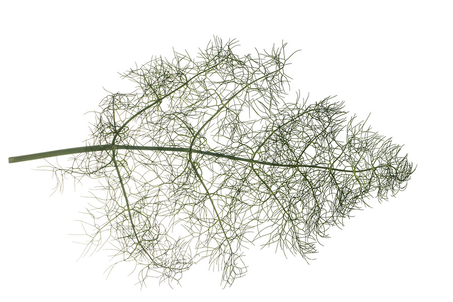 Fenchel, Foeniculum vulgare, Foeniculum officinale, Fennel, Le fenouil, le fenouil commun. Blatt, Blätter, leaf, leaves