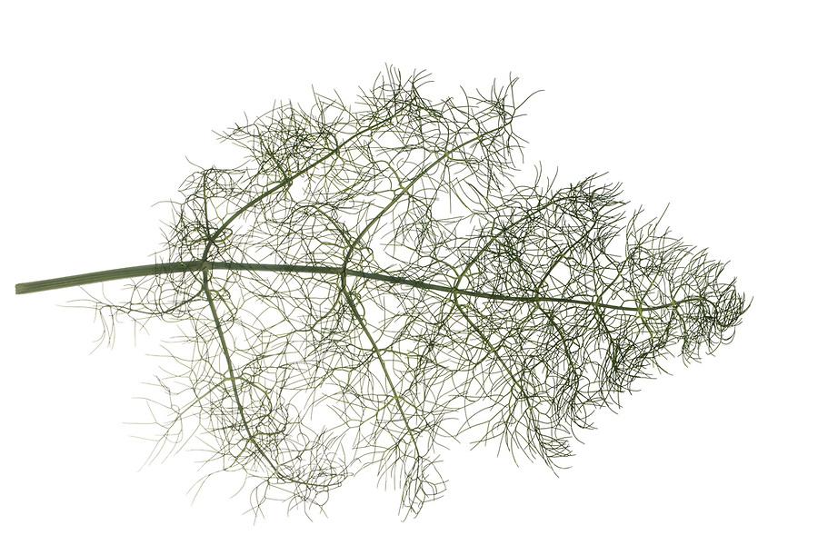 Fenchel, Foeniculum vulgare, Foeniculum officinale, Fennel, Le fenouil, le fenouil commun. Blatt, Blätter, leaf, leaves