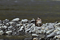 Female Harlequin Duck with young.   June.  Pacific NW.